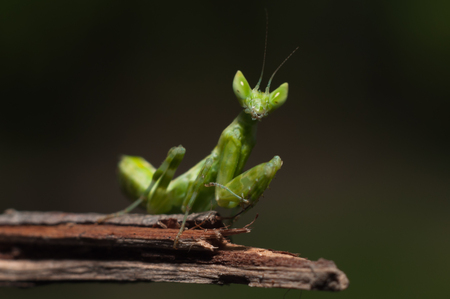 crawly: Mantis lives on grass in Asia Thailand .