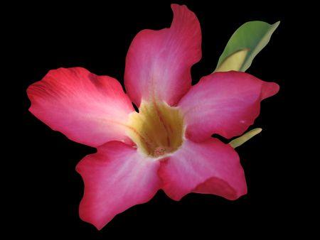 Une image isol�e d'une veriety de Plumiera rubra. A connu des plantes m�dicinales. Banque d'images