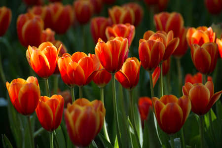 perennials: Group of Tulip flowers are spring blooming perennials that grow from bulbs, it is national popular flowers of Netherlands.