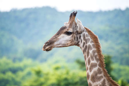ungulate: The giraffe (Giraffa) is a genus of African even-toed ungulate mammals, the tallest living terrestrial animals and the largest ruminants. Stock Photo