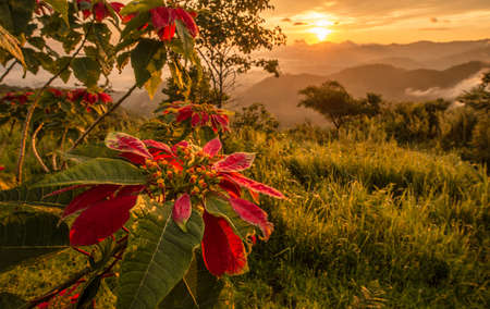 christmas cactus: Christmas flowers growth on the mountain with the morning sunrise.