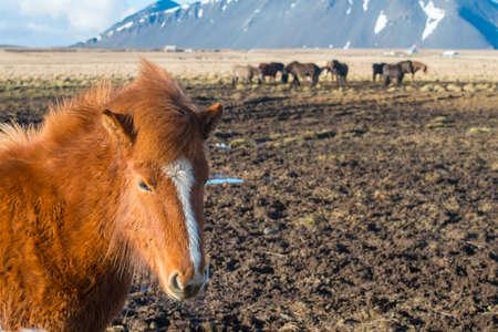 Icelandic horse and iconic farm animal in Iceland.