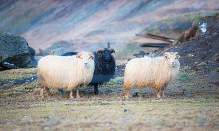 Group of Icelandic sheep in agriculture field of Iceland. Stok Fotoğraf