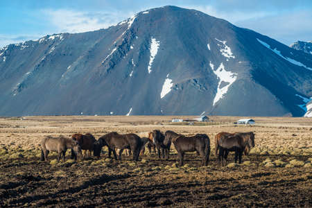 Icelandic horse with the landscape in Iceland.