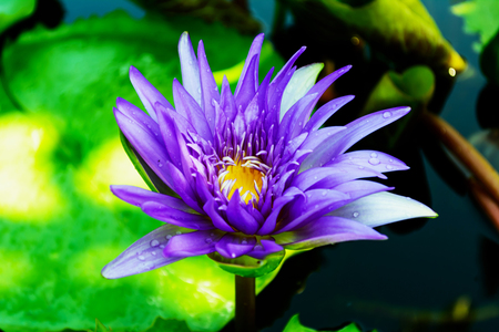 gr: Lotus flower and Lotus flower plants Stock Photo