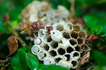 Hymenoptera Nest.