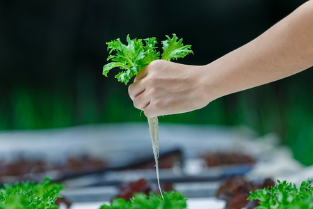 Hydroponics,Organic fresh harvested vegetables,Farmers hands holding fresh vegetables.