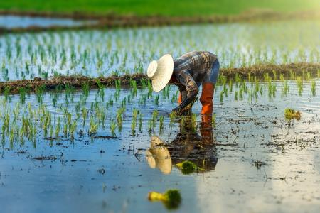 タイの稲作農家は、家計消費と長い間家族の収入のために季節を植え、農家は米を栽培しています。