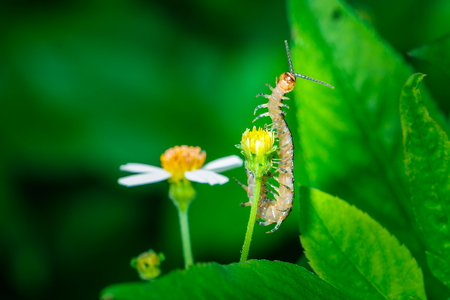 Chilopoda,Centipedes bug on a Leaves. Stock Photo