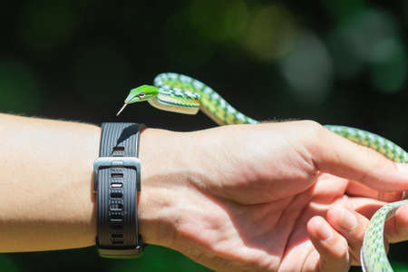 Oriental whipsnake,Green snake on hand in the orchard of Thailand.