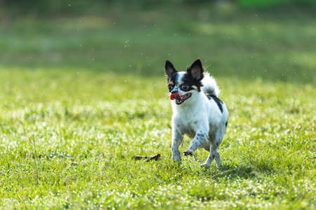 Fun dog,Happy dogs having fun in a field, running on the field.Chihuahua.;
