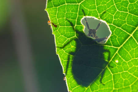 The antennae of the insect and beautiful,On the green leaf texture Clear lines of leaves,Soft focus,selected focus,shallow depth of field.