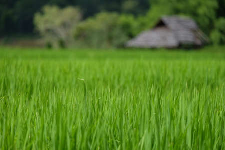 ricefield: rice field