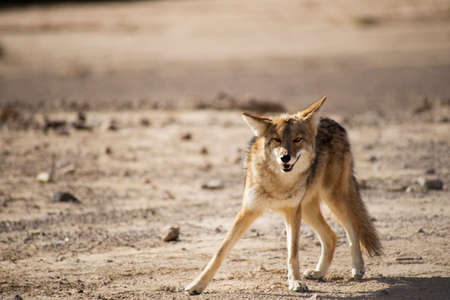 timid: Timid Coyote in the desert