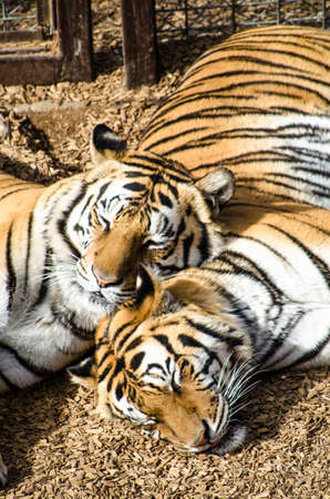 Snuggling Tigers photo