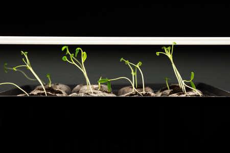 Tomato seedlings being grown under lights indoors