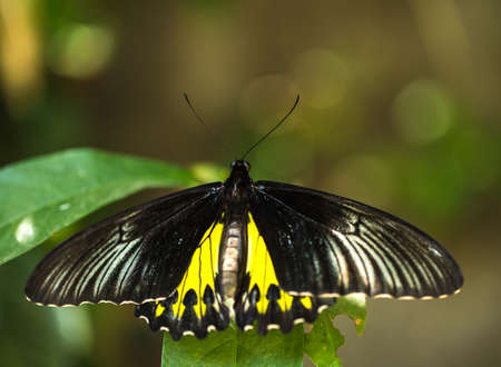 swallowtails: Beautiful colorful butterfly , Bali, Indonesia