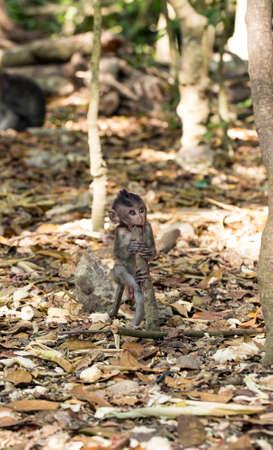 primates: Little baby-monkey in monkey forest of Ubud, Bali, Indonesia Stock Photo