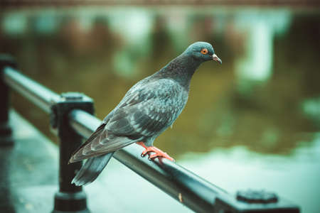 brighton: The view of the pigeons who sit on the iron railing near the lake Stock Photo