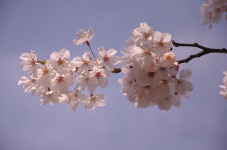 春、銀座の桜