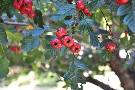 Red nuts in garden