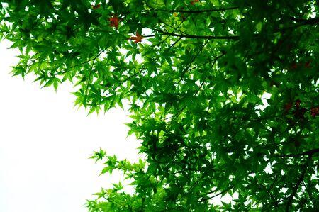 Summer Maple 写真素材