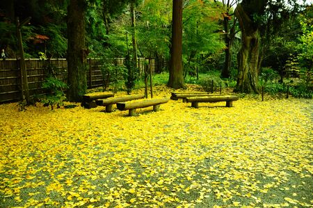 Carpet of Ginkgo biloba