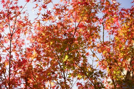 Japan autumn sakura