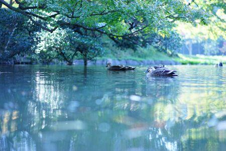 Ducks swim in the garden pond