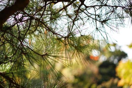 Autumn pine 写真素材