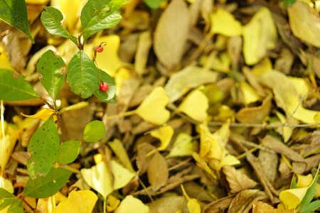 Ginkgo biloba leaves 写真素材