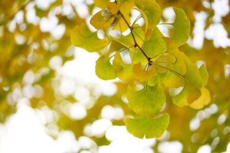 Ginkgo biloba leaf 写真素材