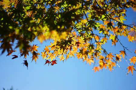 秋の紅葉と秋の青い空