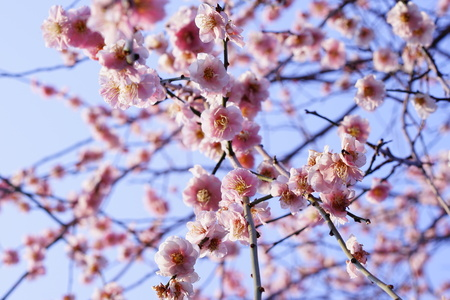 Tokyo plum 写真素材