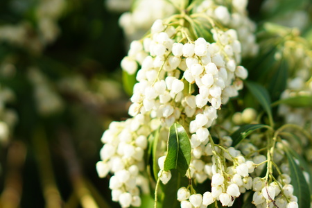 Small white flowers in spring 写真素材