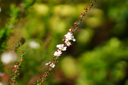 White small flowers of spring 写真素材