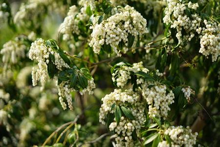 White flowers in spring 写真素材