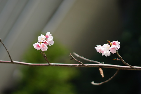 Cherry blossoms near a building 写真素材