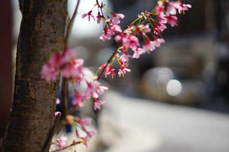 Cherry blossoms and road