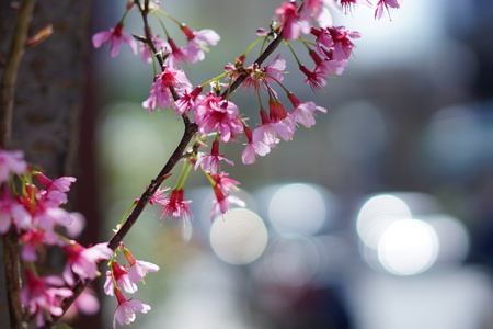 Cherry blossoms and the blur circle 写真素材