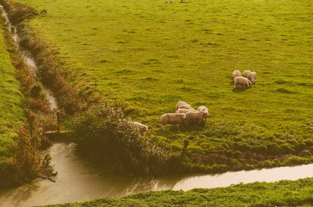 tell fortune: Vintage photo of sheep at the meadow divided with water channels