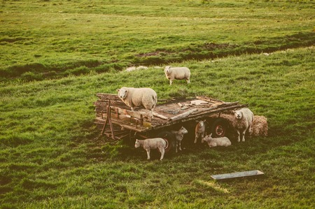 tell fortune: Herd of sheep at the green meadow in vintage styled photo Stock Photo