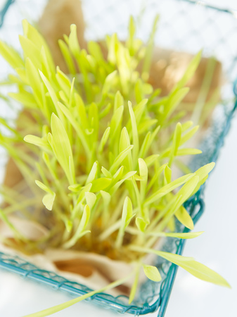 Fresh microgreen on the white background in natural light
