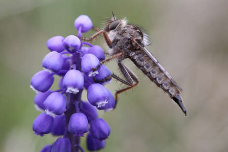Robber fly sitting on a flower photo