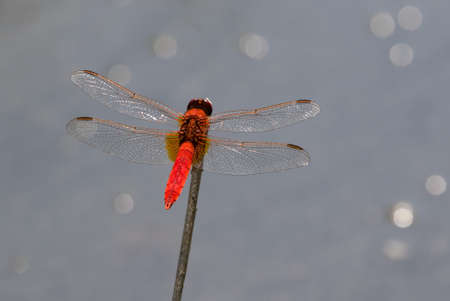 crocothemis: Red dragonfly