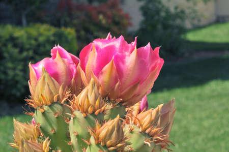 acute angle: Flores de cactus