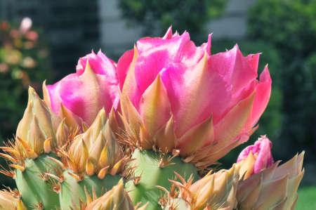 acute angle: Cactus Flower