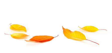 Autumn cherry leaves on white background with copy space