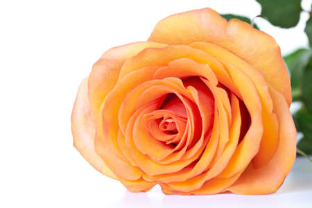 orange rose: Tea rose with leaves on white background. Copy space