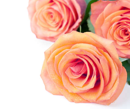 orange rose: Roses bouquet on white background with empty room for text